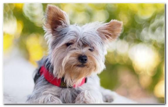 Image Miniature Schnauzer Standard Schnauzer Puppy Giant Schnauzer Dog Breed