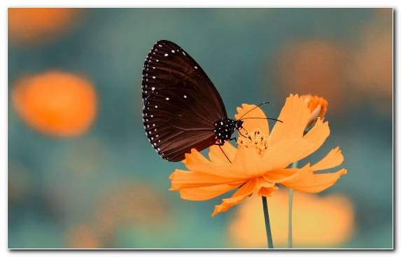 Image Monarch Butterfly Brush Footed Butterfly Flora Butterfly Flower