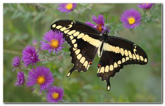 Image Monarch Butterfly Insect Butterfly Nectar Eastern Tiger Swallowtail