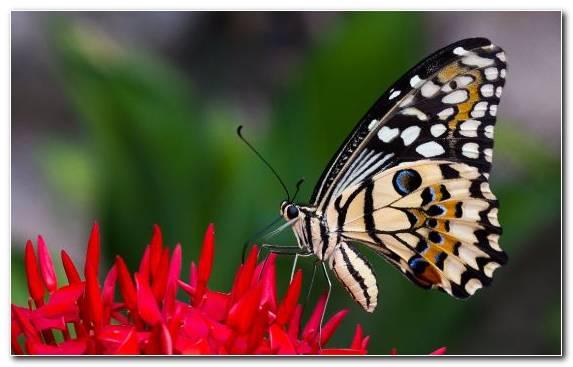 Image Monarch Butterfly Invertebrate Borboleta Nectar Butterfly