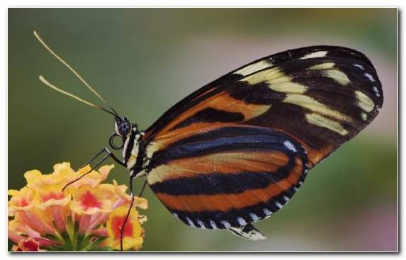 Image Monarch Butterfly Invertebrate Moths And Butterflies Television Set Pollinator