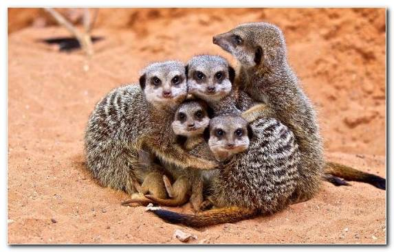 Image Mongoose Snout Mammal Animal Meerkat