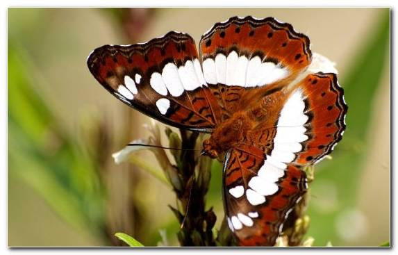 Image Moth Moths And Butterflies Brush Footed Butterfly Invertebrate Insect