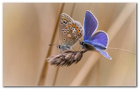 Image moths and butterflies butterfly brush footed butterfly lycaenid pollinator