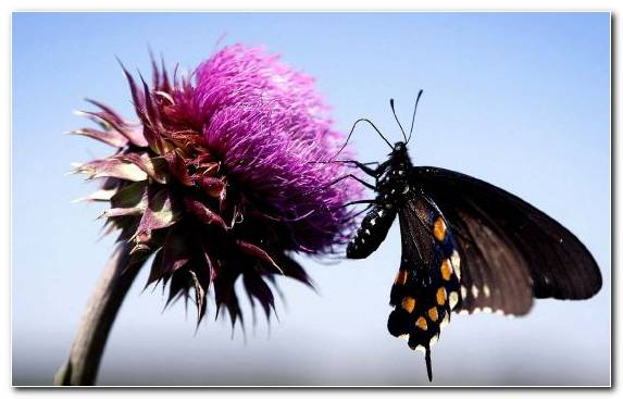 Image Moths And Butterflies Butterfly Pollinator Fly Purple