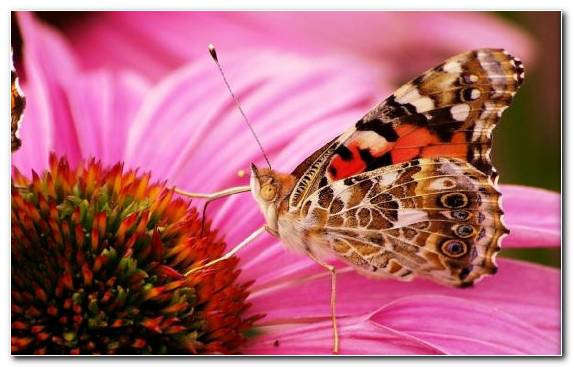 Image Moths And Butterflies Flower Butterfly Insect Brush Footed Butterfly