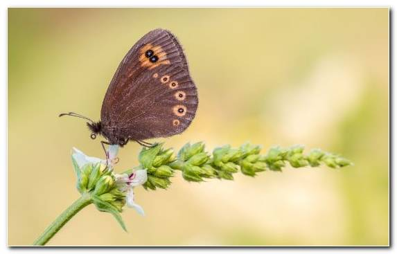 Image Moths And Butterflies Invertebrate Nectar Brush Footed Butterfly Pollinator