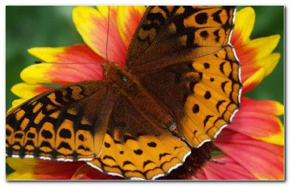 Image Moths And Butterflies Pollinator Brush Footed Butterfly Invertebrate Whatsapp