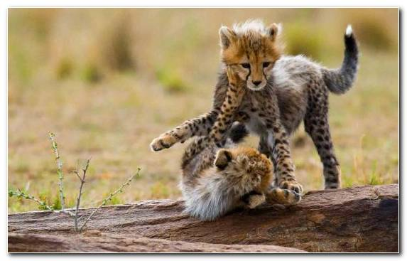 Image Mount Kilimanjaro Small To Medium Sized Cats Hotel Terrestrial Animal Tarangire National Park