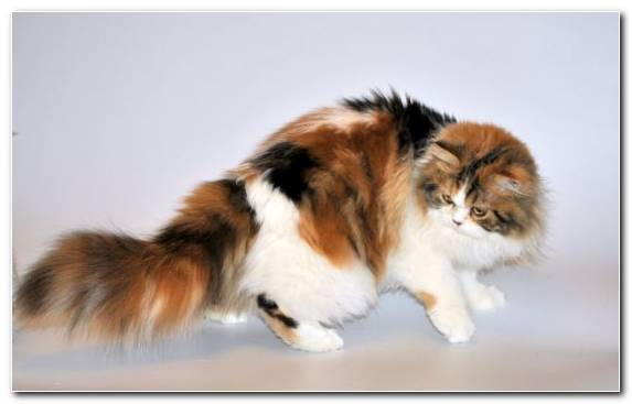 Image Moustache British Semi Longhair Small To Medium Sized Cats Whiskers Snout