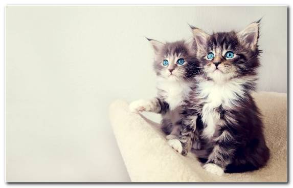 Image Moustache Ragdoll Cat Eye Cuteness