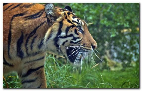 Image Moustache Terrestrial Animal Big Cat Tiger Grass