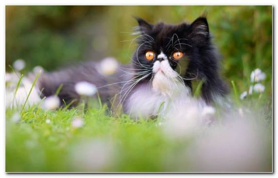 Image Moustache Whiskers Grass Persian Cat Bengal Cat
