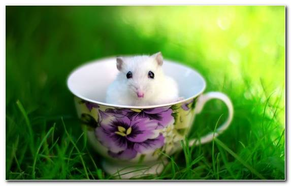 Image Muroidea Cuteness Hamster Rodent Teacup