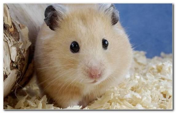Image Muroidea Dormouse Moustache Snout Rodent