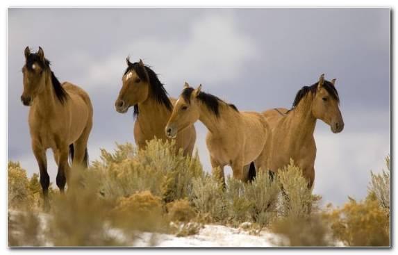 Image Mustang Chincoteague Pony Mustang Horse Kiger Mustang Mare