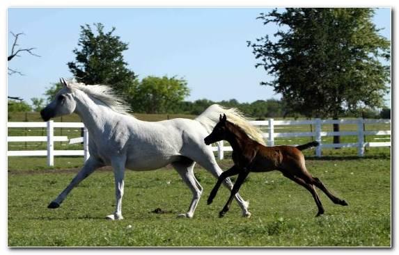 Image Mustang Horse Mustang Mane Mare Stallion