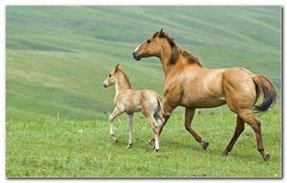 Image Mustang Horse Pony Foal Wildlife Arabian Horse