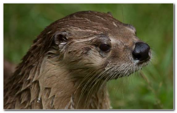 Image Mustelidae Wildlife Marine Otter Eurasian Otter Otter