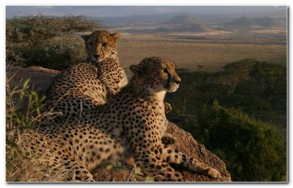 Image National Park Cat Cheetah Sky Savanna