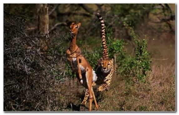 Image National Park Giraffe Ecosystem Nature Reserve Impala
