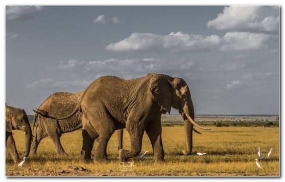 Image National Park Indian Elephant Savanna Ecosystem African Elephant