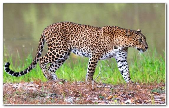 Image National Park Wildlife Park Leopard Terrestrial Animal