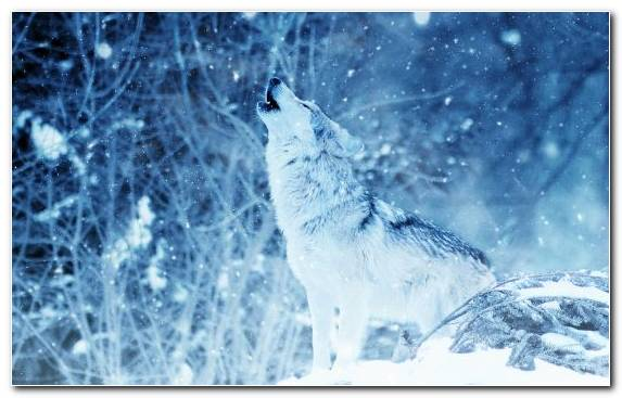 Image Nature Coyote Photoshop Wildlife Snow