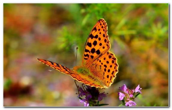 Image Nature Insect Flower Moths And Butterflies Nectar