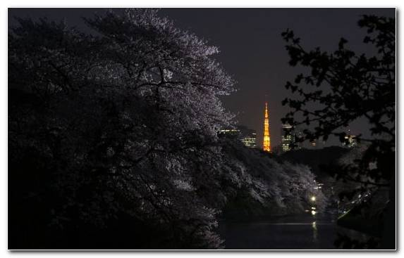 Image Nature Plant Night Tree Cherry Blossom