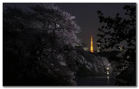 Image Nature Plant Night Tree Cherry Blossom