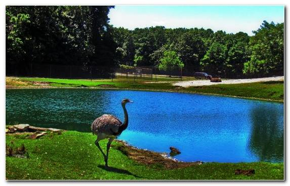 Image Nature Reserve Common Ostrich Reflection Water Zoo