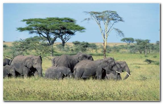 Image Nature Reserve Elephants And Mammoths Safari Grassland Camera Flashes