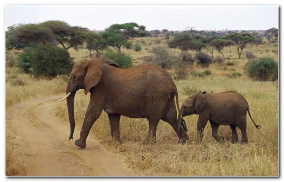 Image Nature Reserve Elephants And Mammoths Terrestrial Animal Animal African Elephant