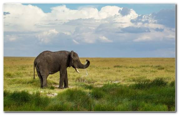 Image Nature Reserve Indian Elephant Grazing Desert Grassland