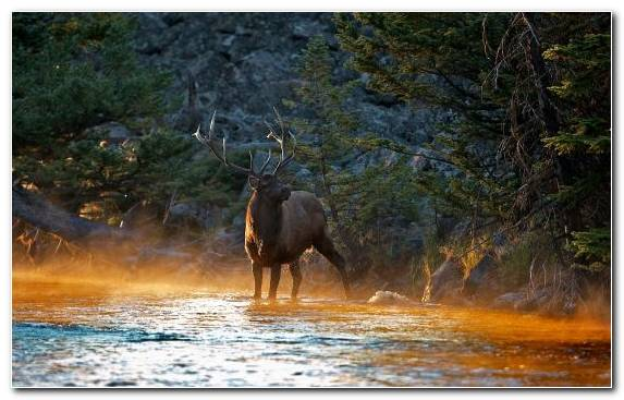 Image Nature Reserve Wildlife Elk Water Wilderness