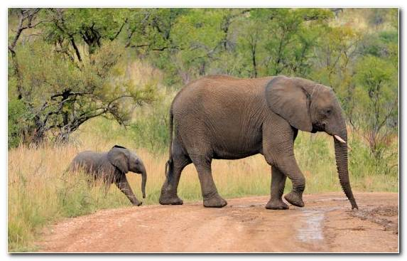 Image Nature Reserve Wildlife Lion Indian Elephant African Elephant