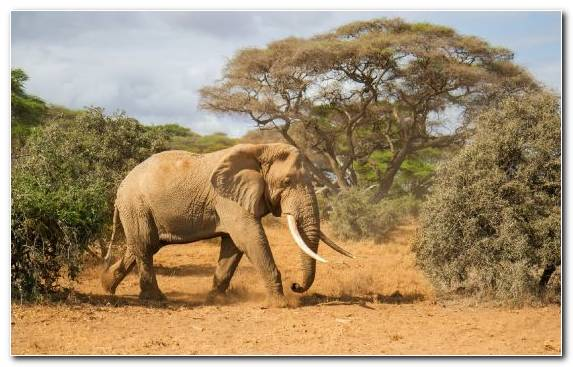 Image Nature Wilderness African Elephant Wildlife African Bush Elephant