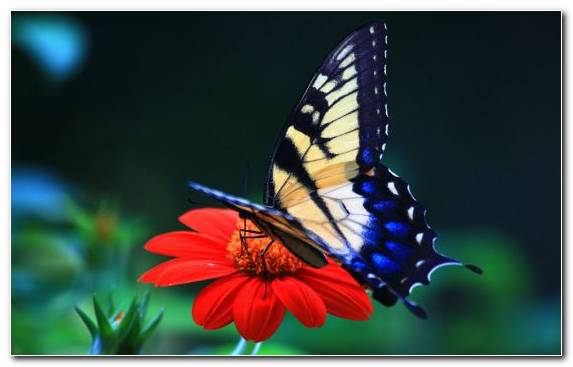 Image nectar brush footed butterfly pollinator monarch butterfly invertebrate