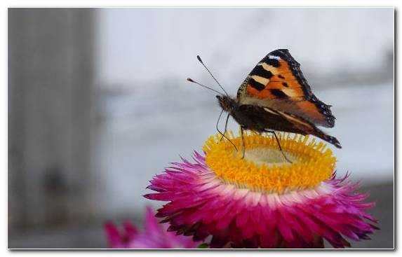 Image Nectar Butterfly Invertebrate Pollinator Lycaenid