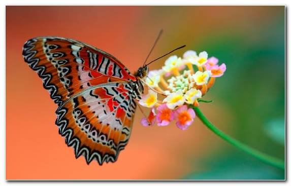 Image Nectar Butterfly Pollinator Caterpillar Moth