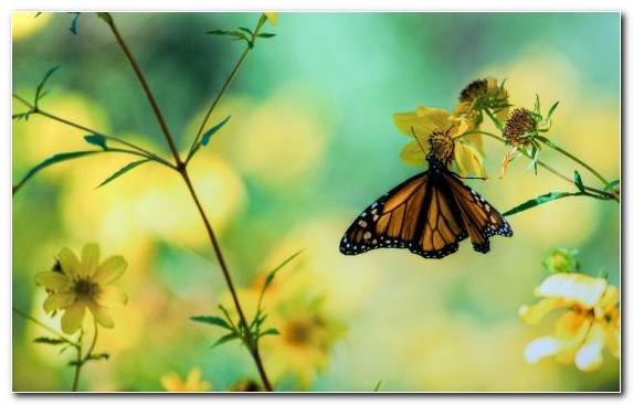 Image Nectar Lycaenid Invertebrate Moths And Butterflies Monarch Butterfly