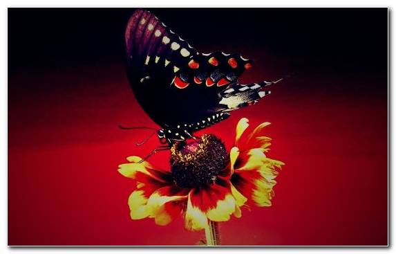 Image Nectar Petal Invertebrate Insect Butterfly