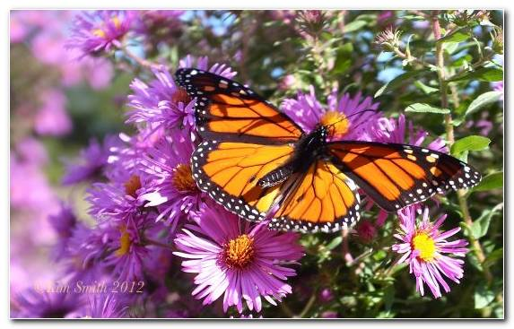 Image nectar purple butterfly aster brush footed butterfly