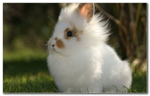 Image Netherland Dwarf Rabbit Rabits And Hares Lionhead Rabbit Angora Rabbit