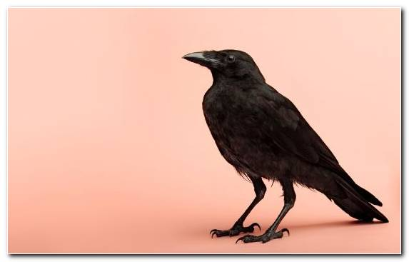 Image New Caledonian Crow American Crow Rook Wing Tyrion Lannister