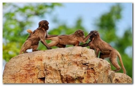 Image New World Monkey Old World Monkey Terrestrial Animal Macaque Photograph