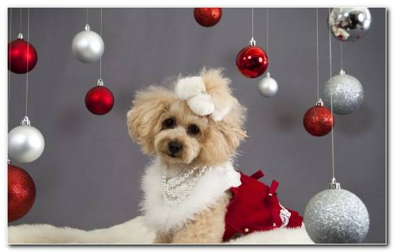 Image New Year Poodle Christmas Decoration Dog Like Mammal Companion Dog