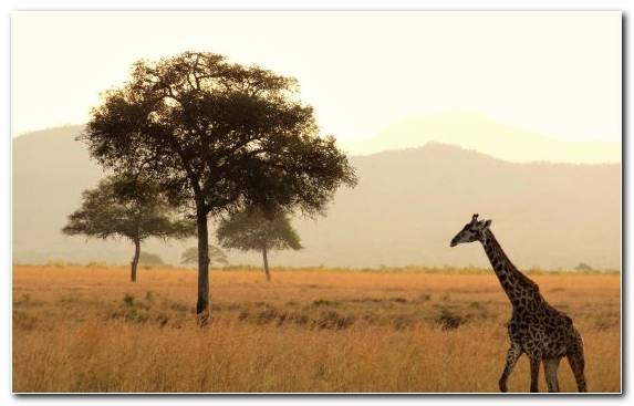 Image Ngorongoro Conservation Area Giraffidae Tourism Travel Giraffe
