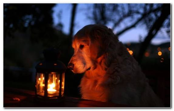 Image Night Fire Evening Dog Like Mammal Heat
